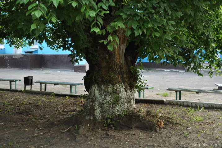 Дерево перед дворцом.